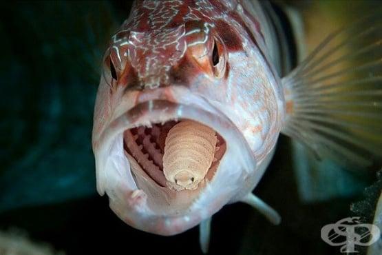Cymothoa Exigua: морският паразит хермафродит, който живее на езика на рибата  - изображение