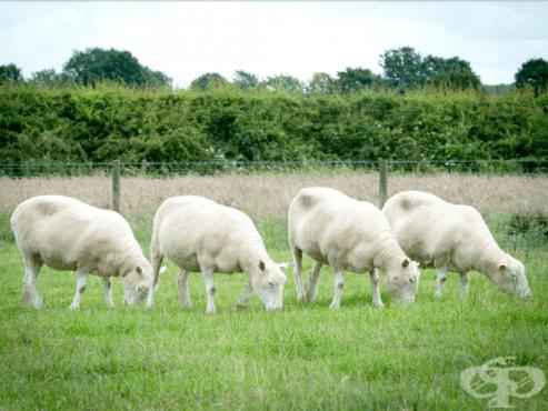 Какво се случва с 4 от клонингите на овцата Доли? - изображение