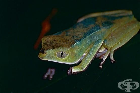 Древен ритуал за детоксикация със секрет Kambo от гигантска дървесна жаба предизвиква повръщане и диария  - изображение