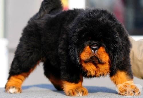 Още 12 екзотични породи кучета, които едва ли сте срещали 2 част (галерия) - изображение