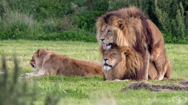Мъжки лъвове са заснети как се опитват да се съвкупят - изображение