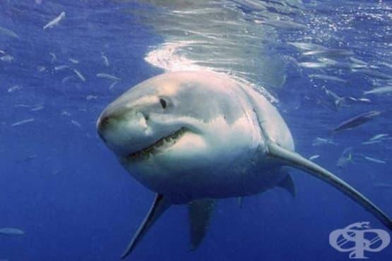 Гмуркачи плуват с най-голямата акула в света - изображение