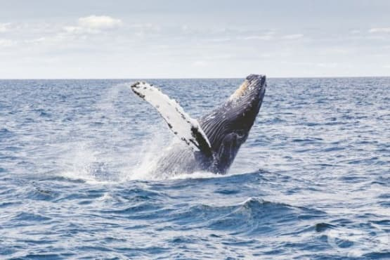 Историята на света се крие в ушната кал на китовете - изображение