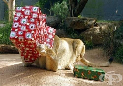 Вижте дивите животни, които обичат коледни подаръци! (галерия) - изображение