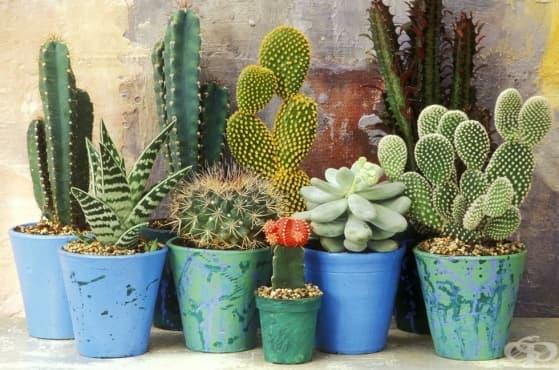 6 интересни факта, които не знаете за кактусите - изображение