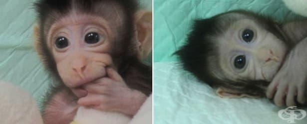 Китайски учени клонираха успешно макаци посредством нова технология - изображение