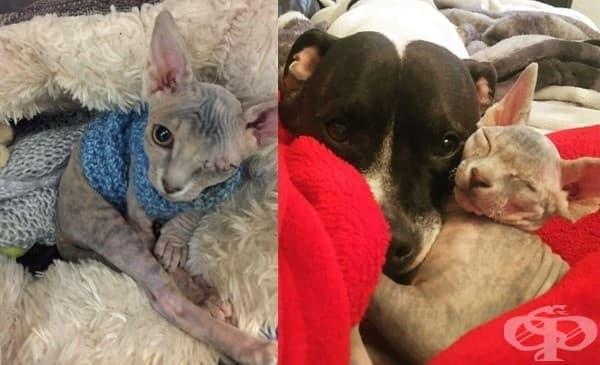 Жена осиновява еднооко коте сфинкс, което се влюбва в кучето й - изображение