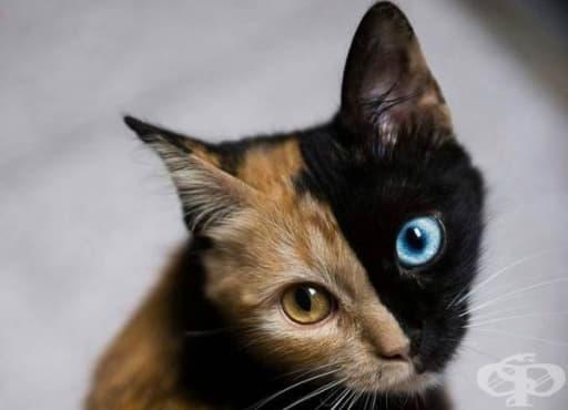 Химера – котката с две ДНК - изображение