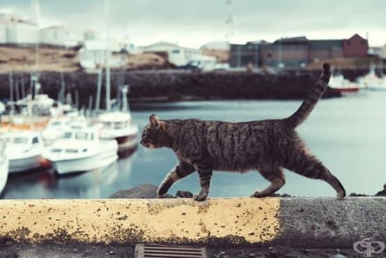 Котките са плавали в корабите на викингите, заедно завладявайки света - изображение