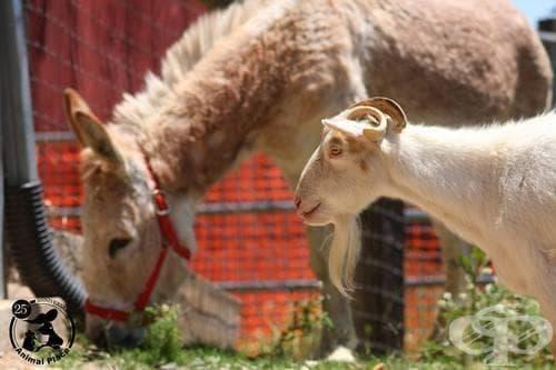 Трогателно видео за приятелството между коза и магаре разчувства целия свят - изображение