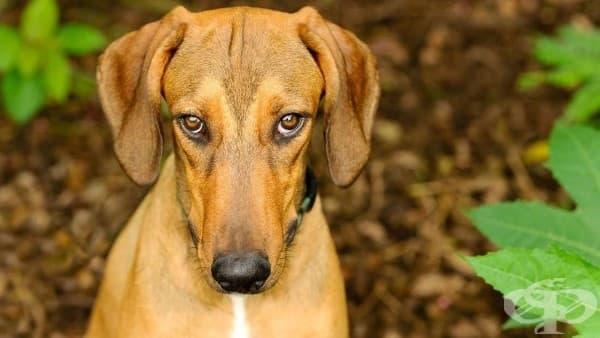 Виновният поглед на кучето ви изобщо не изразява вина - изображение