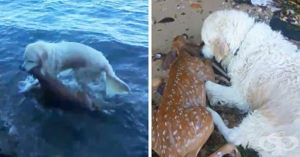 Трогателно: Куче спасява ранена сърна от удавяне - изображение