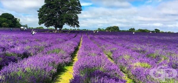 Лавандулова ферма край Лондон - рай за Инстаграм снимки - изображение