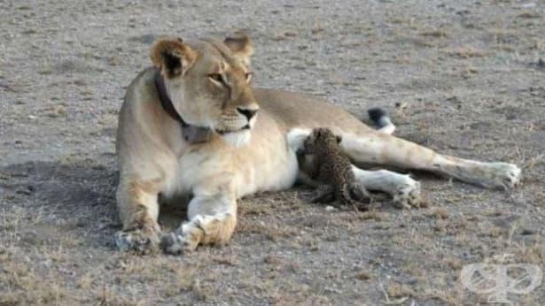 Невероятно: Лъвица е заснета да кърми леопардче в дивата природа - изображение