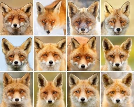 Лицата на лисицата: Фотограф доказва, че всяка лисица има различна личност - изображение