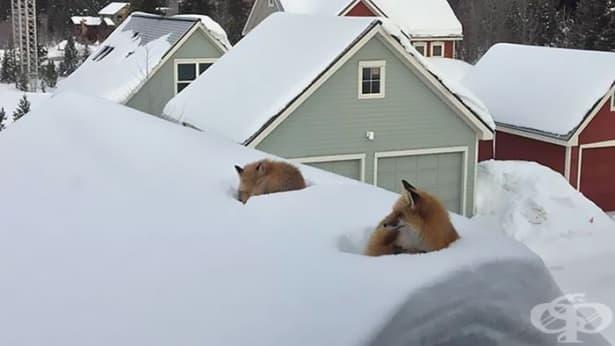 Как са се качили тези лисици на покрива? - изображение