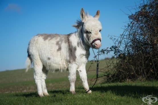 Оти – най - малкото магаре в света високо само 48 см - изображение