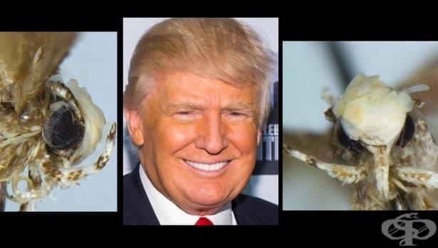 """Кръстиха на Тръмп молец с руса """"прическа"""" и малки гениталии - изображение"""