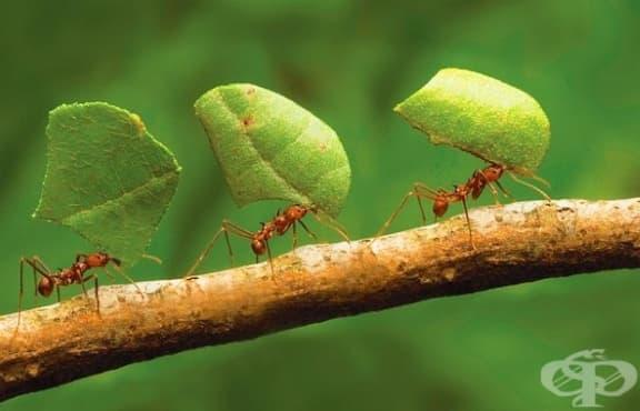 """Запознайте се с """"мравките фермери"""", които садят, отглеждат и събират реколта! - изображение"""