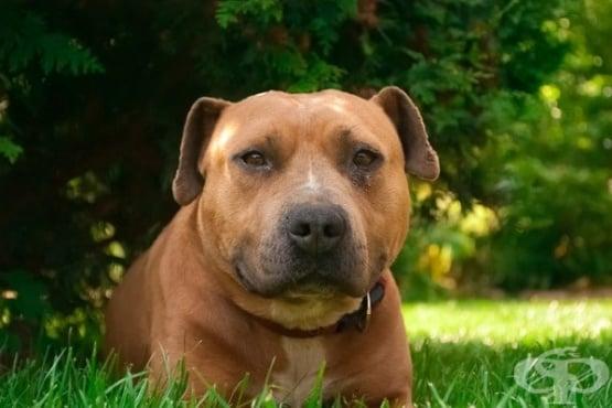 Топ 15 най-опасни породи кучета - изображение
