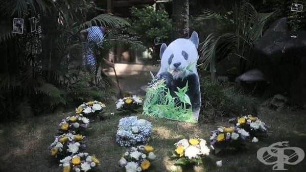 Най-старата панда в света почина в Китай - изображение