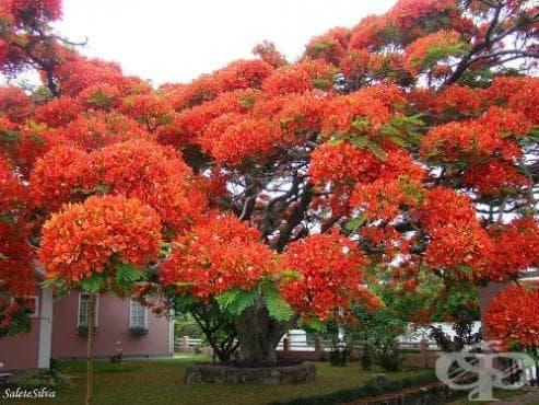 цъфтящо дърво 16 от най необикновените и неземно красиви дървета на планетата  цъфтящо дърво