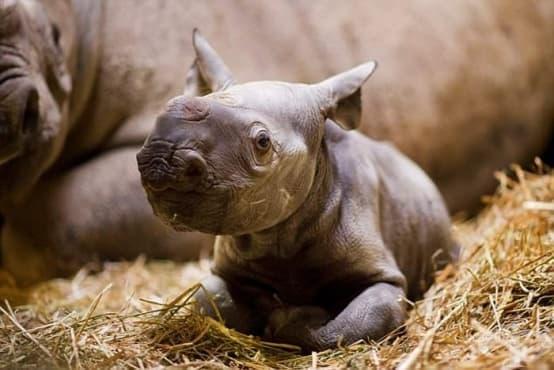 Природният парк в Кент празнува раждането на очарователен рядък вид черен носорог - изображение