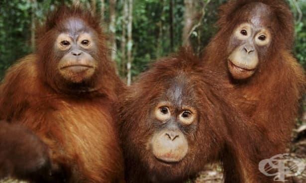 Сравнете паметта си с тази на орангутана: личностен тест - изображение
