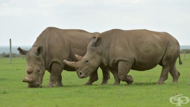 Как хибриден ембрион може да спаси суданския бял носорог - изображение