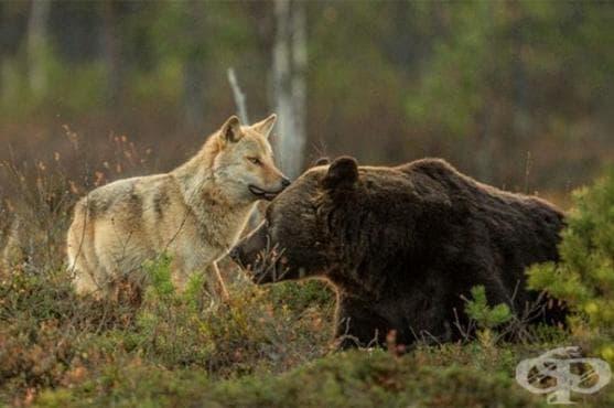 Вижте необичайното приятелство между мечка и вълк, заснето от фински фотограф (галерия) - изображение