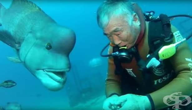 Приятели завинаги: Японски водолаз е приятел  с риба в продължение на 25 години  - изображение