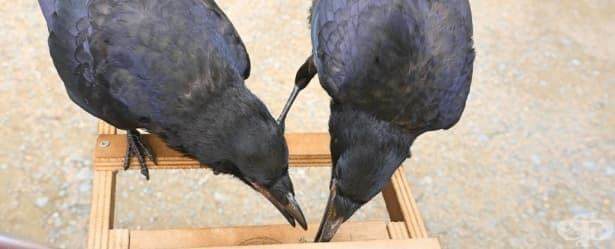 Тези умни птици работят за храна - изображение