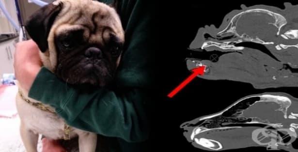 д-р Линдзи Хамилтън предупреждава: Не подарявайте мопс като коледен подарък! - изображение