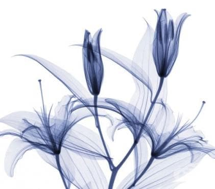 Вижте поразителните рентгенови снимки на цветя на Хю Тарви - изображение