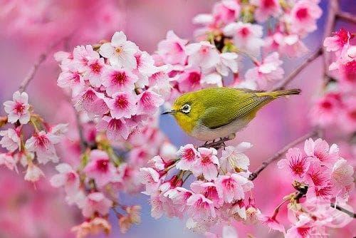 21 от най-красивите фотографии на цъфнали вишни в Япония през 2014 година - изображение