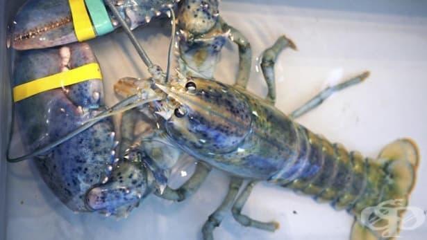 Находка: Американец улови син омар - изображение