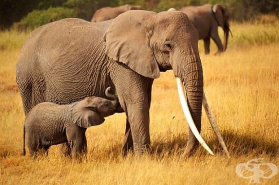 Страх ли ги е слоновете наистина от мишки? - изображение