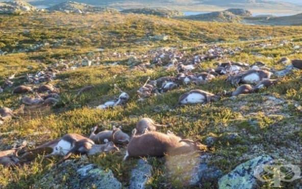 Мълнии убиха 300 северни елена в Норвегия - изображение