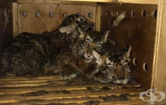 Тигърчета прекарали седмица в кутия на едно летище, преди някой да ги намери - изображение