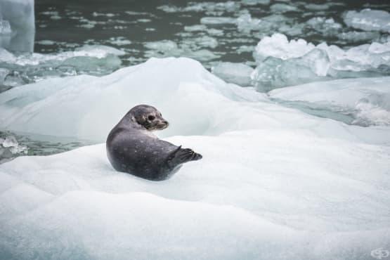 Гърбат кит спасява тюлен от атаката на група косатки - изображение