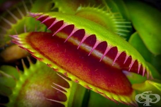 Венерината мухоловка създава магнитно поле, когато улавя плячката си - изображение