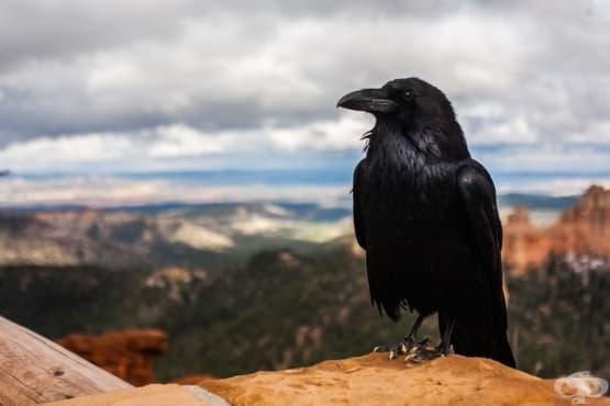 Шумните бдения на враните за загиналите им другари  - изображение
