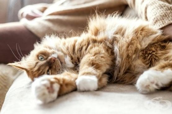 """За какво служи на котките отпуснатото """"джобче"""" на корема им - изображение"""