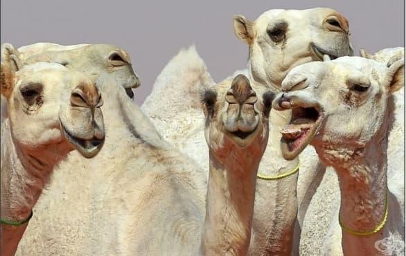 Заради ботокс: Камили отпаднаха от конкурс за красота в Саудитска Арабия  - изображение