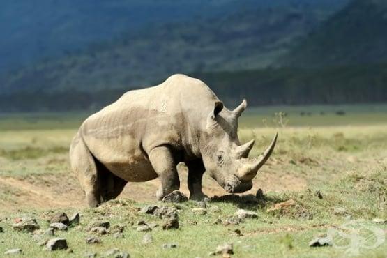 Защо носорозите трябва да се транспортират с главата надолу  - изображение
