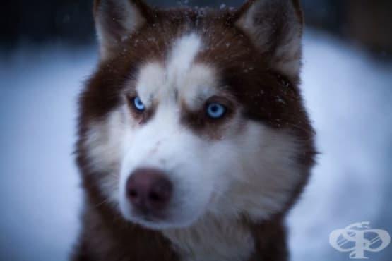 Защо сибирските хъскита имат брилянтно сини очи - изображение