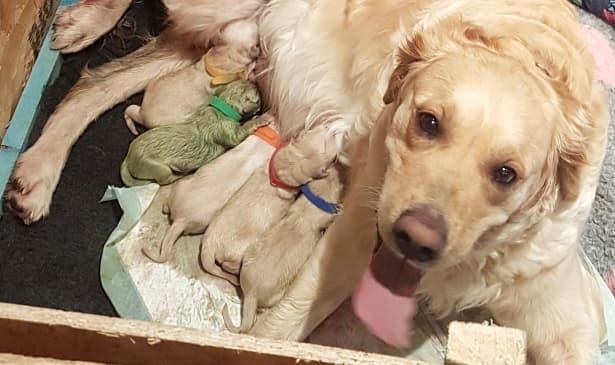 Феномен: Голдън ретрийвър роди зелено кученце - изображение