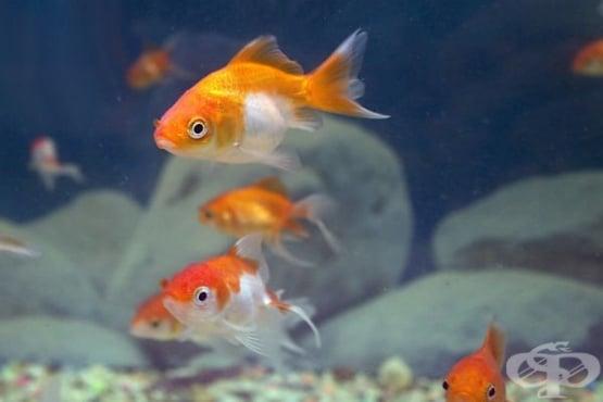 Как да се грижите ефективно за златната си рибка - изображение