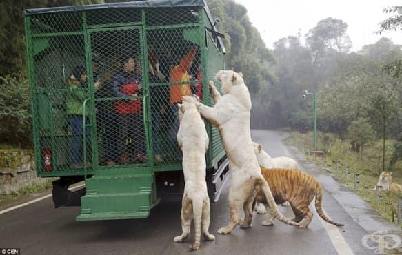 Зад стените на зоопарка, в който хората са затворени, а животните са пуснати на свобода - изображение