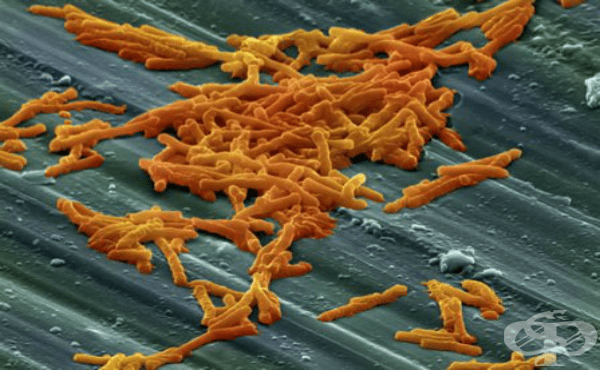 Клостридиум дефициле (Clostridium difficile) - изображение
